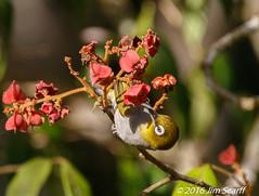 Silver-eye (Jim Scarff) Tags: australianbirds passerines silvereye zosteropslateralis exif:lens=ef100400mmf4556lisiiusm14xiii camera:model=canoneos7dmarkii camera:make=canon geo:location=chamberswildliferainforestlodge exif:focallength=437mm exif:model=canoneos7dmarkii exif:aperture=ƒ80 exif:isospeed=2500 exif:make=canon
