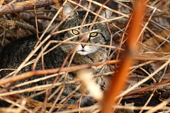 Catmouflage (Eat With Your Eyez) Tags: feral cat feline wild stray outdoor wisker eyes eye fur furry animal beautiful winter sunny sunshine colony