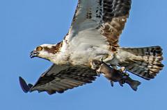 One for the road (Tom Fenske Photography) Tags: bird osprey wildlife fish trout flight flying birdofprey raptor
