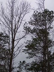Rainy Day. (dccradio) Tags: lumberton nc northcarolina robesoncounty outdoor outdoors outside tree trees treebranch branch branches treebranches treelimb treelimbs greyskies grayskies february winter rain raining rainy rainyday sunday afternoon goodafternoon sundayafternoon kodak easyshare dx4530 sky cloudy overcast woods pine