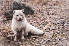 725A8930 (regisfiacre) Tags: parc animalier sainte croix saintecroix rhodes moselle animaux animals animal tier zoo france canon 5div mark iv 4 plein format full 100400mm renard polaire polar fox fuchs