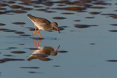 Redshank dipping (John A Harvey) Tags: birds england hunstanton norfolk uk