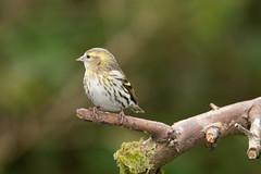 Female Siskin (Dan Baillie) Tags: bird gardenbird birdwatching nature scotland wigtownshire feathers birding