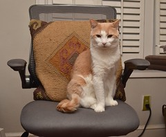 Otis likes the ergonomic chair. (rootcrop54) Tags: otis dilute orange ginger tabby male cat office chair ergonomic neko macska kedi 猫 kočka kissa γάτα köttur kucing gatto 고양이 kaķis katė katt katze katzen kot кошка mačka gatos maček kitteh chat ネコ