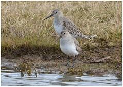 Dunlins in Winter plumage. (Jeremy Eyeons) Tags: calidrisalpina winterplumage rspb framptonmarsh lincolnshire wader water