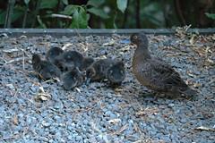 Pateke ducklings!! (kattabrained) Tags: anaschloritis teal newzealandbirds ducklings pateke