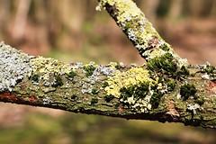 Moss (just.Luc) Tags: tak branche mos moss moos mousse zweig nature natuur green groen grün vert verde