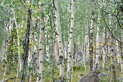 Aspen Grove (NaturalLight) Tags: aspen grove forest colorado nationalforest