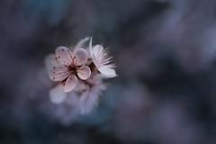 mystère (christophe.laigle) Tags: rose bokeh christophelaigle fleur macro nature flower fuji pink spring xpro2 xf60mm printemps