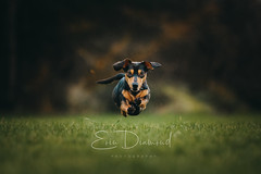 Nora (EoinDiamond) Tags: dog pet dachshund air flying bounding eyes cute puppy action suasagedog speed movement forest woods trees