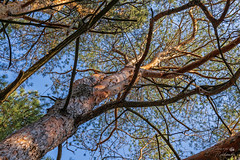 Як високо ти здатен дістатись? (ucrainis) Tags: spring tree trunk pine forest khortytsia nature plant branch ukraine