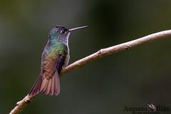 DSC_3542.jpg (Augusto Ilian G) Tags: amaziliaandina andeanemerald amaziliafranciae