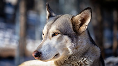 Lone Wolf (wximagery) Tags: wolf wolves breed fur coat winter animal mamal eyes dog canine