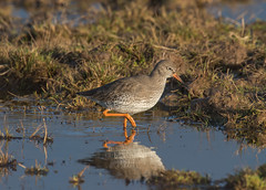 Redshank-9397 (seandarcy2) Tags: birds wildlife waders marsh frampton lincs uk redshank