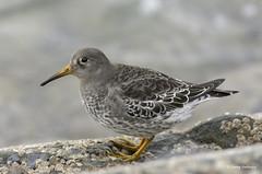 Purple Sandpiper (jonny.andrews65) Tags: purple sandpiper bird shore wader water sea nikon d7200 200500 vr newtownards countydown northernireland