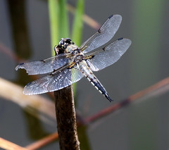 Four-Spotted Skimmer Dragonfly (Libellula quadrimaculata);  Santa Fe National Forest, NM, Thompson Ridge [Lou Feltz] (deserttoad) Tags: nature newmexico animal insect fauna dragonfly pond nationalforest mountain