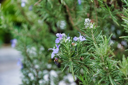2019-02-02 - Nature Photography - Flowers - Rosemary