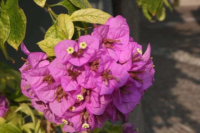 Обои Цветение, Pink flowers, бугенвиллея, Flowering, Розовые цветы картинки на рабочий стол, раздел цветы - скачать