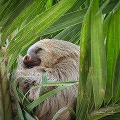Paresseux/Oso perezozo (Elf-8) Tags: sloth palmtree nature animal tropical costarica