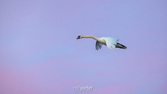 Mute Swan Airbourne (www.neilporterphotography.com) Tags: mute swan sunset pink sky brd fly water fowl stover lake