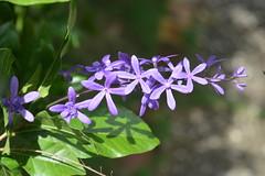 Purple for Valentine's Day (vbvacruiser) Tags: cruise caribbean vacation royalprincess princesscruises barbados gardens andromedabotanicalgardens purple valentinesday