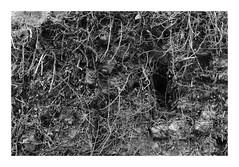Chevelu... (DavidB1977) Tags: france picardie hautsdefrance aisne bouconvillevauclair monochrome bw nb fujifilm x100f