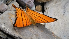 Marpesia berania (ID Lars Andersen) (kirstenmatthiesen) Tags: bolivia broncini caranavi butterfly mariposa