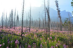Fireweed (NaturalLight) Tags: fireweed forest fire reclamation banffnationalpark banff nationalpark canada