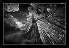 Looking up, Pine tree, La Palma, Canary Islands. (Bartonio) Tags: 720nm bw canaryislands garafía ir islascanarias lapalma sonya7ir blanconegro infrared laowa1018mm45 modified tree pine pino pinar laowa hank you somuch thank much