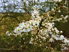 Blackthorn Blossom (Nomadic074) Tags: nature blackthorn blossom march white hedgerow