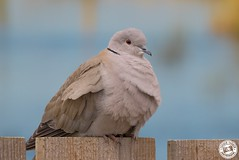 Collared Dove - Streptopelia decaocto (Lauren Tucker Photography) Tags: bird collareddove nature slimbridge wildlife wwt streptopelia decaocto canon slr camera markii 7d 100400mm copyright ©laurentuckerphotography photography photographer photograph photo image pic picture allrightsreserved 2019 winter spring colour wild mammal uk south west england