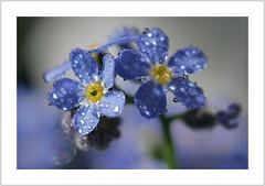 forget-me-not (Harald52) Tags: vergissmeinnicht blüte pflanze natur wassertropfen blau frühling