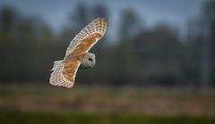 Barn owl (David Brooker) Tags: barn owl flying bird