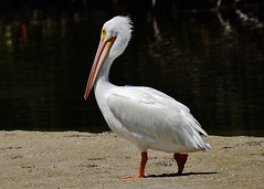 American White Pelican  (Pelecanus erythrorhynchos) (Susan Roehl) Tags: •jndingdarlingnationalwildliferefuge sanibelisland florida usa americanwhitepelican pelecanuserythrorhynchos oneofthelargestbirds innorthamerica 9footwingspan occursfarinland feedscooperatively shallowlakes doesnotdivefromtheair aquaticsoaringbird orderpelecaniformes interiornorthamerica movingsouthandtothecoasts centralamericaandsouthamerica inwinter swimmingonsurface dippingbillinwater scoopingupfish intopouch roughfish crayfish salamanders sueroehl panasonic lumixdmcgh4 100400mmlens handheld noon sandbar coth5 ngc