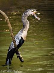ANHINGA WITH FISH (PHOTOGRAPHY|bydamanti) Tags: loschiles alajuelaprovince costarica cr anhinga birdswithprey canonegrowildliferefuge waterbirds