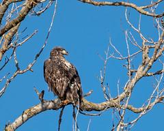 Bald Eagle #63 (lennycarl08) Tags: baldeagle eagle colusanwr raptor birdofprey