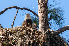 Caruso American Bald Eagle with Chick (dbadair) Tags: outdoor nature wildlife 7dm2 canon florida bird