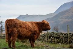 Beautiful beast (moniquerebanks) Tags: highlander cattle highlandcattle cow hooglander closeup lakedistrict nationalpark worldheritage uk cumbria hills buttermere unesco nikond7100 heuvels farmanimal farm boerderijdieren