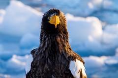 Ohwashi (Shigeo Kameshima) Tags: eagle bird animal claw wing power ice sea happyplanet asiafavorites
