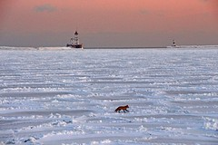 Big Lake Little Fox (marylee.agnew) Tags: big lake great ice michigan frozen fox vulpes cold snow nature winter little h th