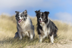 Duke & Gibbs (redshift1960) Tags: duke gibson bluemerle bordercollie dogs beach dunes