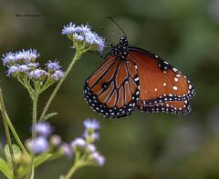 Soldier - Danaus eresimus (Mike_FL) Tags: soldierdanauseresimus nikon nikond7500 nature butterfly tamron100400 markhampark outdor photograph image