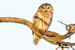 Barred owl sitting on tree branch (dwb838) Tags: barredowl branches tree