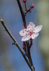 solitary blossom 11/100x 2019 (sure2talk) Tags: solitaryblossom blossom nikond7000 nikkor85mmf35gafsedvrmicro macro closeup 100xthe2019edition 100x2019 image11100 11100x2019