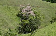 Paineira em flor (Márcia Valle) Tags: roça verde green juizdefora minasgerais brazil brasil zonarural rurallandscape paisagemrural márciavalle nikon d5100 verão summertime tropicallandscape tree árvore paineira