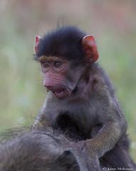 Go Ma...Go!!! (leendert3) Tags: leonmolenaar wildlife krugernationalpark animals mammals nature chacmababoon ngc coth5 npc