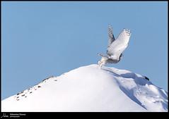 Harfang des neiges (Sébastien Dionne photographe) Tags: harfang harfangdesneiges oiseau oiseaux bird birds isleverte bassaintlaurent canon canon5dmarkiv canon5dmkiv 5dmarkiv 5dmkiv 150600mm 150600 sigma sigma150600 sigma150600dgoshsmsport sigma150600s
