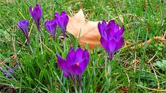 Spring meets autumn (david_m.hn) Tags: blume flower narzisse narciss outdoor frühling spring autumn herbst ahorn maple gras grass natur nature