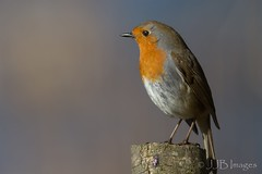 Robin. (JJB Images) Tags: amazingnature beautiful birds beauty canon canoneos6d clear countryside country detailed eos england eyes focus fuji interesting jjbimages lumix lovelylight minolta nikon nature natural panasonic rspb tamron usm wiltshire wildlife xl zoom zoomed