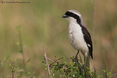 Grey-Backed Fiscal (Brian Calder) Tags: shrike bird wildbird fiscal greybackedfiscal masaimara kenya